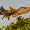 Brown Pelican in full breeding plumage- Roberts Bay, Sarasota and the Braden River, Bradenton, FL