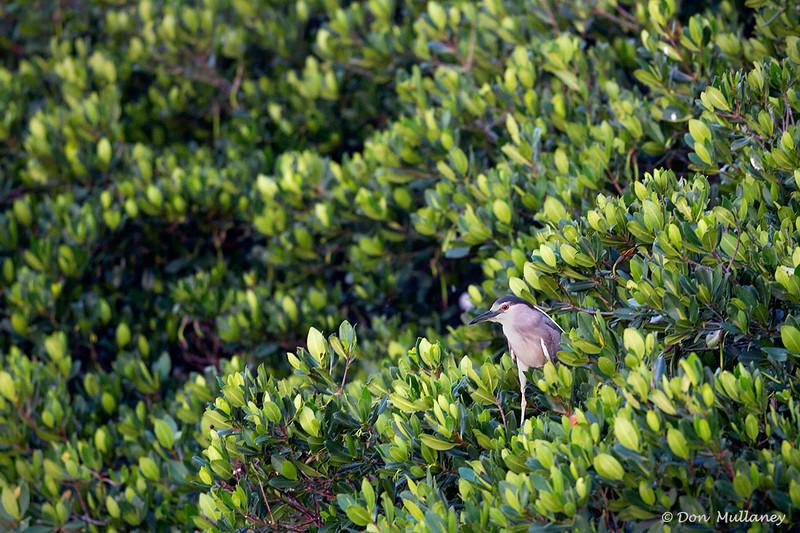 Black-crowned Night Heron alone among the greenery- Roberts Bay, Sarasota and the Braden River, Bradenton, FL