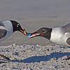 Laughing Gulls having a tug-a-war with a fish- Fort DeSoto, St. Petersburg, FL
