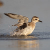 A morning bath enjoyed by a Black-bellied Plover- Fort DeSoto, St. Petersburg, FL