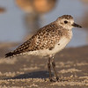 A Black-bellied Plover in non-breeding plumage.- Fort DeSoto, St. Petersburg, FL
