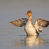 A female Red-breasted Merganser flapping her wings dry after her bath - Fort DeSoto, St. Petersburg, FL