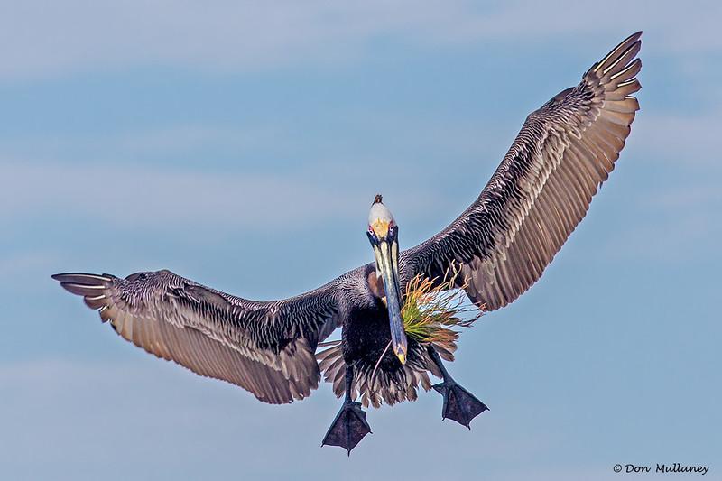 "A Brown Pelican with a ""bouquet""- Roberts Bay, Sarasota and the Braden River, Bradenton, FL"