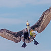"A Brown Pelican with a ""bouquet""- Roberts Bay, Sarasota and the Braden River, Bradenton, FL"