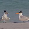 As part of a tern's mating ritual, the male offers the female a fish- Fort DeSoto, St. Petersburg, FL