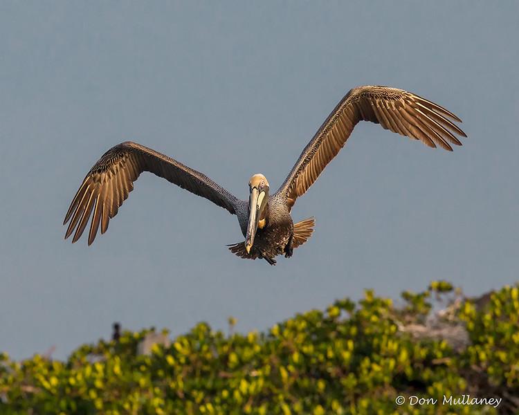One of many Brown Pelicans- Roberts Bay, Sarasota and the Braden River, Bradenton, FL