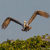 One of many Brown Pelicans- Roberts Bay, Sarasota and the Braden River, Bradenton, FL