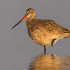 A beautiful Marbled Godwit in the morning sun- Fort DeSoto, St. Petersburg, FL