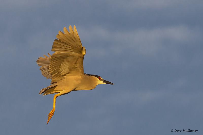 An unusual scene, BC Night Heron flyby- Roberts Bay, Sarasota and the Braden River, Bradenton, FL