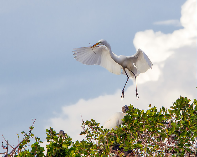 A Great Egret with nesting material- Roberts Bay, Sarasota and the Braden River, Bradenton, FL