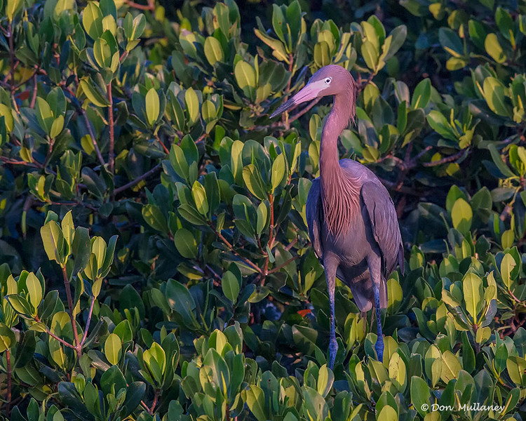 A Reddish Egret looking us over- Roberts Bay, Sarasota and the Braden River, Bradenton, FL