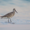 A Willet strolling the beach in beautiful light- Fort DeSoto, St. Petersburg, FL