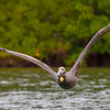 A Brown Pelican flyby- Roberts Bay, Sarasota and the Braden River, Bradenton, FL