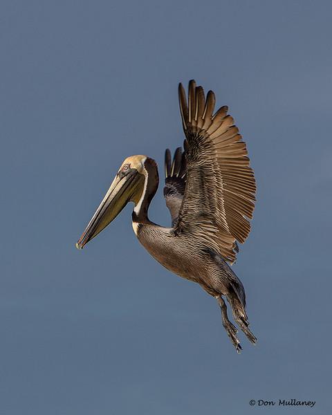 A landing Brown Pelican- Roberts Bay, Sarasota and the Braden River, Bradenton, FL