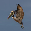 A landing Brown Pelican- Roberts Bay, Sarasota and the Braden River, Bradenton, FL