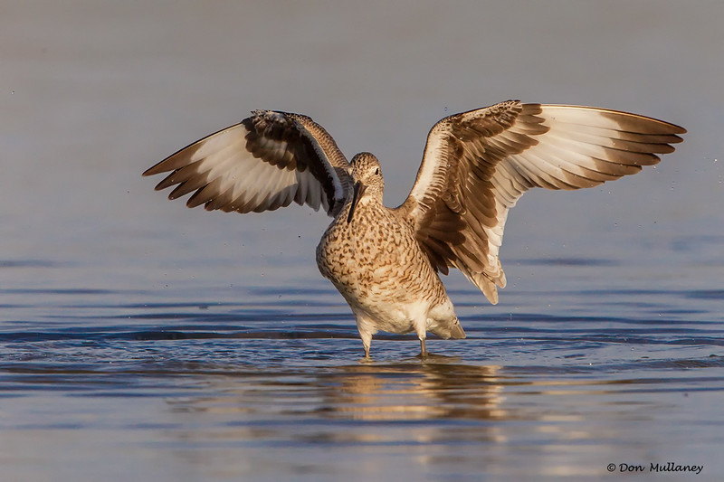 A Willet drying it's wings- Fort DeSoto, St. Petersburg, FL
