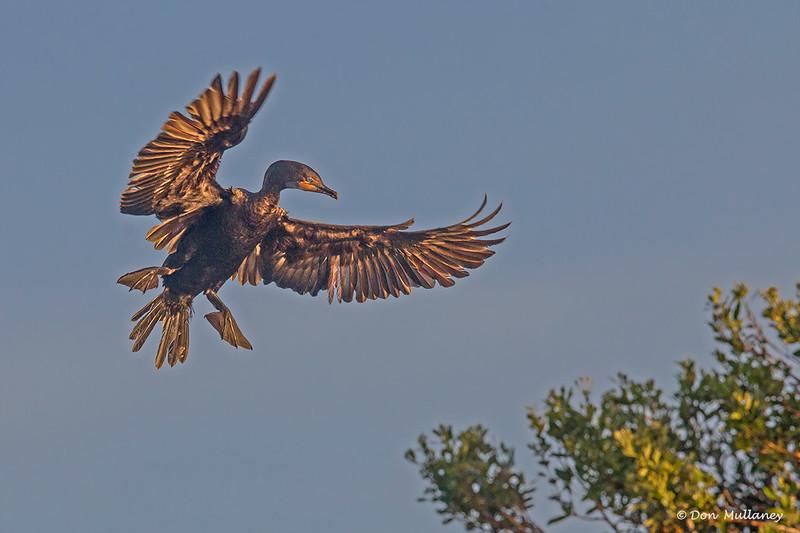 A Double-crested Cormorant- Roberts Bay, Sarasota and the Braden River, Bradenton, FL