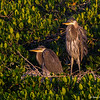 Looking for their parents, two Great Blue- Roberts Bay, Sarasota and the Braden River, Bradenton, FL Heron juveniles