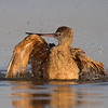 A Marbled Godwit enjoying it's bath- Fort DeSoto, St. Petersburg, FL
