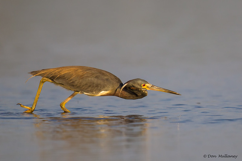 A Tri-colored Heron on the hunt.- Fort DeSoto, St. Petersburg, FL