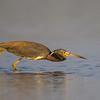 A Tri-colored Heron on the hunt.- Fort DeSoto, St. Petersburg, FL