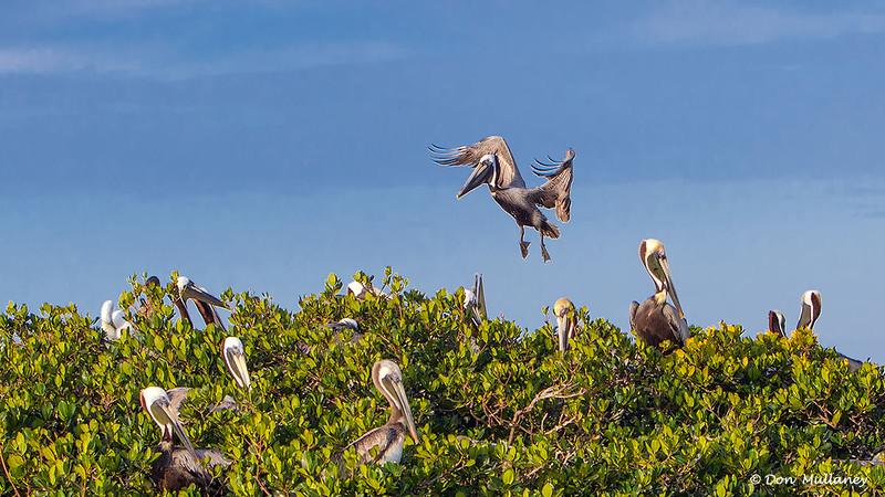 A crowded rookery - Roberts Bay, Sarasota and the Braden River, Bradenton, FL