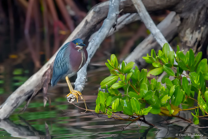 Green Heron- Roberts Bay, Sarasota and the Braden River, Bradenton, FL