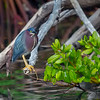 Green Heron- Roberts Bay, Sarasota and the Braden River, Bradenton, FL