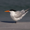 A Royal Tern doing it's balancing act.- Fort DeSoto, St. Petersburg, FL