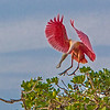 Roseate Spoonbill landing- Roberts Bay, Sarasota and the Braden River, Bradenton, FL