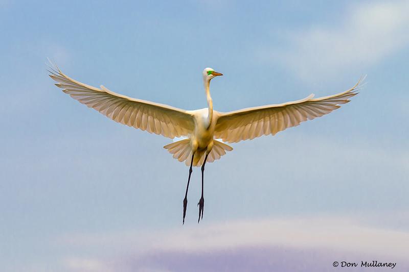 A Great Egret Angel- Roberts Bay, Sarasota and the Braden River, Bradenton, FL
