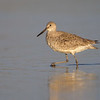 Willet - Fort DeSoto, St. Petersburg, FL