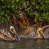 Brown Pelicans bathing- Roberts Bay, Sarasota and the Braden River, Bradenton, FL