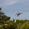 Pelican making a delivery of nesting matter- Roberts Bay, Sarasota and the Braden River, Bradenton, FL