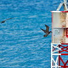 Two Brown Boobies landing on a buoy.