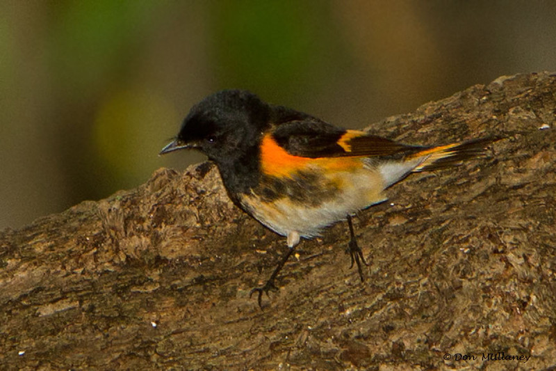 A male American Redstart  - Ft. Jefferson, Dry Tortugas, FL