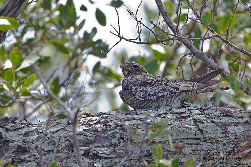 Common Nighthawk - Ft. Jefferson, Dry Tortugas, FL