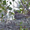 Common Nighthawk - Ft. Jefferson, Dry Tortugas, FL