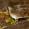Gray-cheeked Thrush- Ft. Jefferson, Dry Tortugas, FL