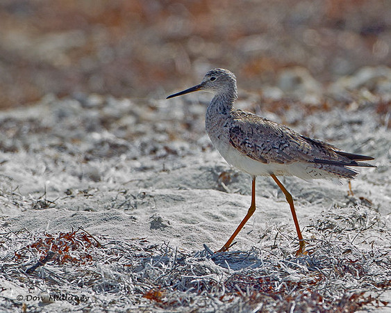 Lesser Yellowlegs - Ft. Jefferson, Dry Tortugas