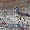 Lesser Yellowlegs - Ft. Jefferson, Dry Tortugas