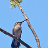 A female Ruby-throated Hummingbird - Ft. Jefferson, Dry Tortugas