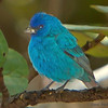 Indigo Bunting -  Ft. Zachary Taylor State Park, Key West, FL.