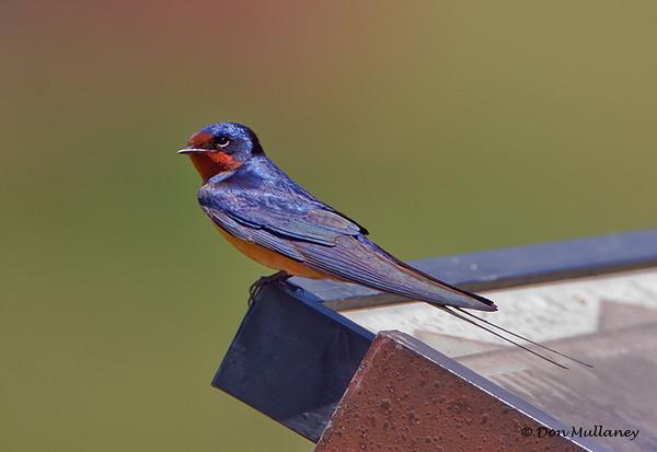 Barn Swallow - Ft. Jefferson, Dry Tortugas