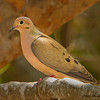 Mourning Dove -  Ft. Zachary Taylor State Park, Key West, FL.