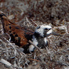 Ruddy Turnstone - Ft. Jefferson, Dry Tortugas