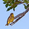 Palm Warbler - Ft. Jefferson, Dry Tortugas