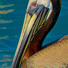 A juvenile Brown Pelican visited the boat while anchored off Loggerhead Cay.