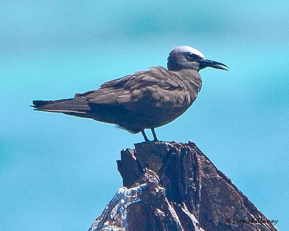 Brown Noddy  - Ft. Jefferson, Dry Tortugas, FL