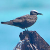 Brown Noddy  - Ft. Jefferson, Dry Tortugas, FL